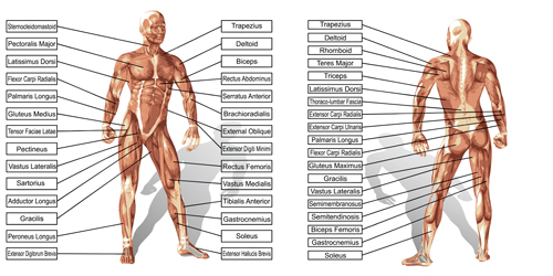 Vector human structure graphic set 03 structure human graphic