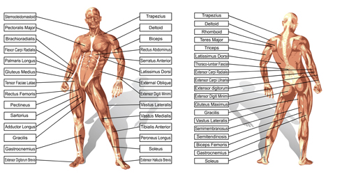 Vector human structure graphic set 02 structure human graphic