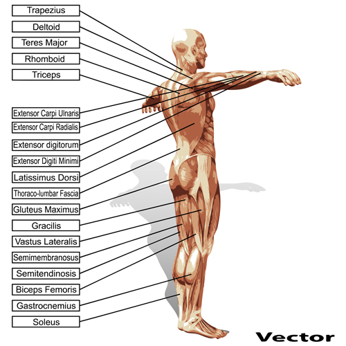 Vector human structure graphic set 01 structure human graphic