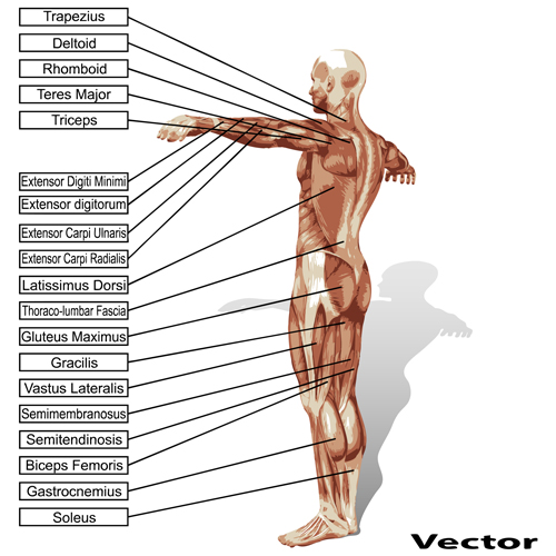 Vector human structure graphic set 10 structure human graphic
