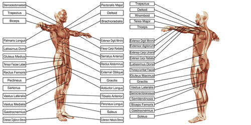 Vector human structure graphic set 08 structure human graphic