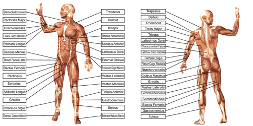 Vector human structure graphic set 07 structure human graphic