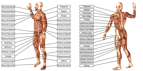 Vector human structure graphic set 06 structure human graphic