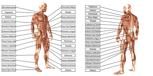 Vector human structure graphic set 04 structure human graphic